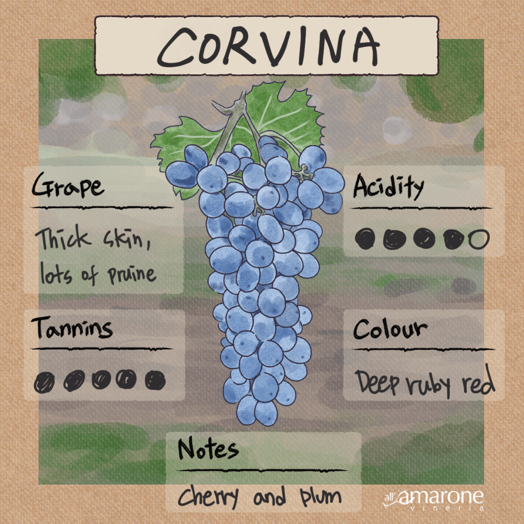 Corvina Grape